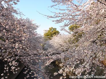20090405sakura1
