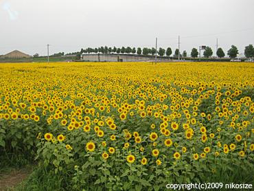 20090813himawari1